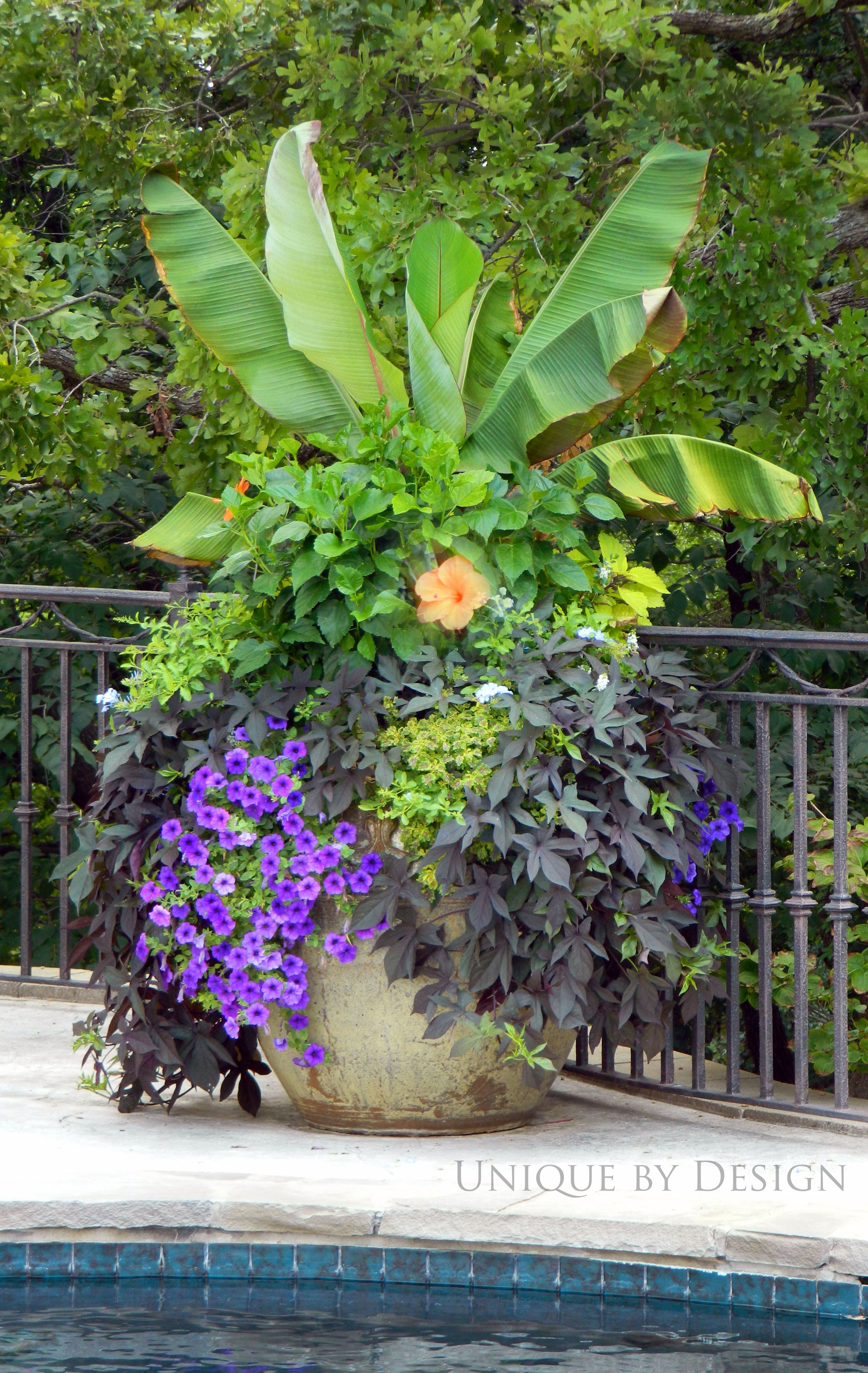 Container plantings add tropical look around pool banana tree tropical hibiscus sweet potato - Tropical container garden ...