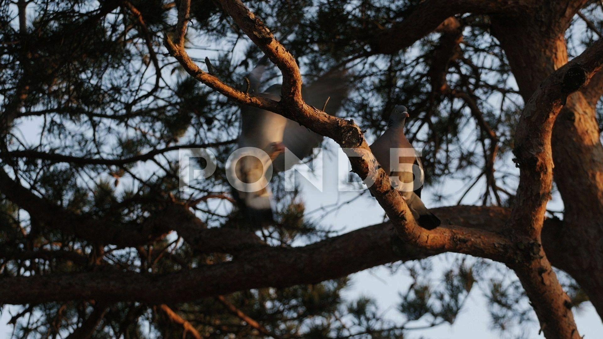 Behavior  Stock Dove Couple  Pigeons Animals Wildlife  Sweden Stock Footage StockDoveBehaviorBirdBird Courtship Behavior  Stock Dove Couple  Pigeons Animals Wildlife  Swe...