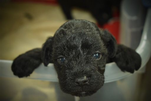 Litter Of 5 Poodle Toy Schnauzer Miniature Mix Puppies For Sale In Efland Nc Adn 23506 On Puppyfinder Com Puppies For Sale Schnoodle Puppy Toy Schnauzer