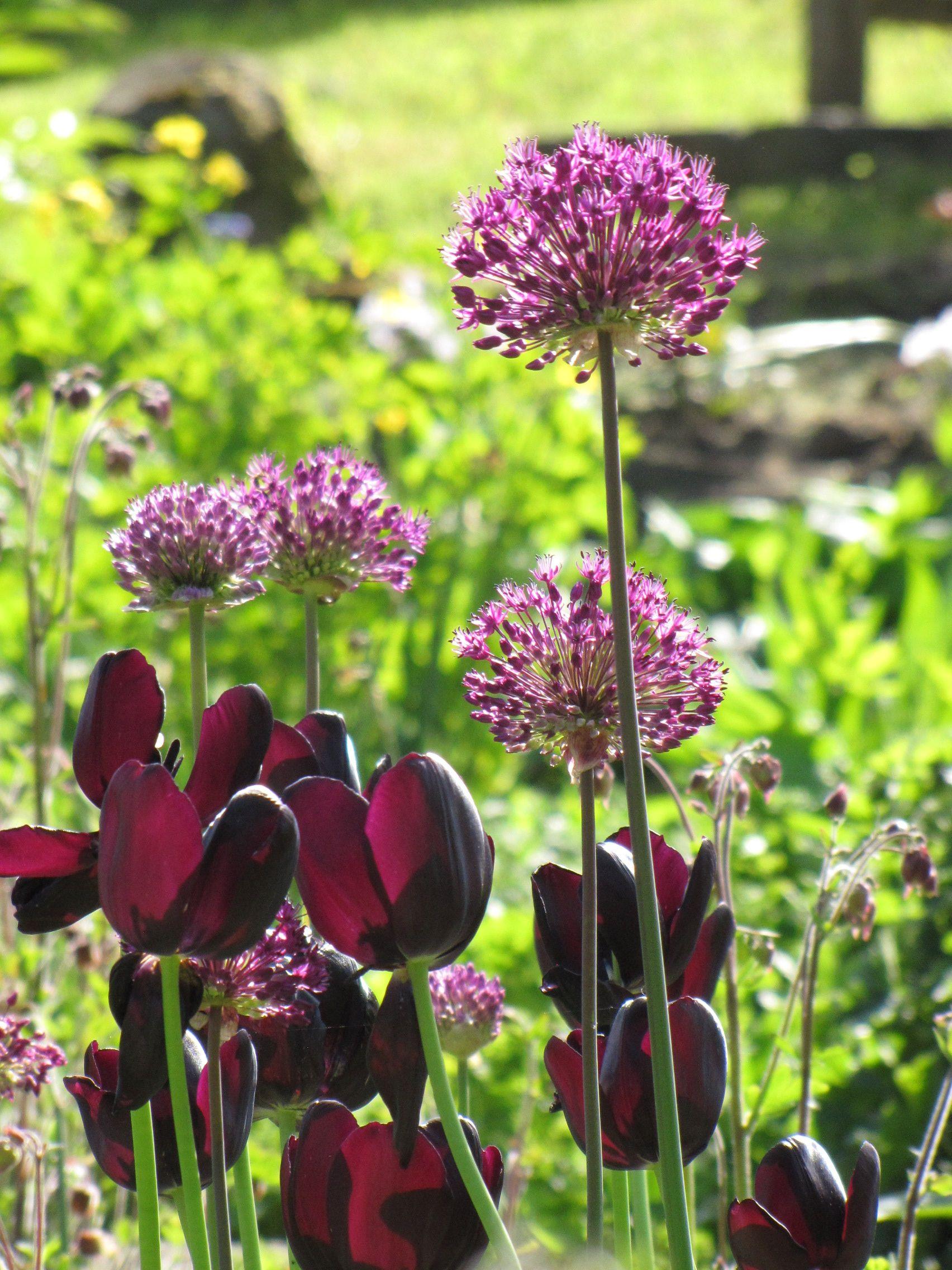 lila tulpen (schwarze tulpe) mit alium. #lila #garten, Gartengerate ideen