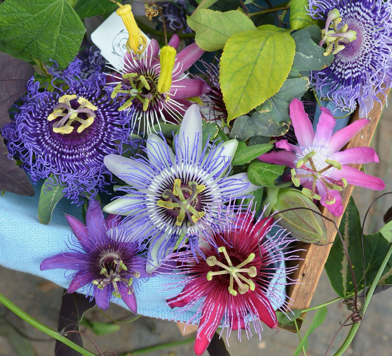 Patrick Worley S Outstanding Hybrid Of The Passion Fruit Vine Has Shiny Bright Green Slightly Crinkled Leaves 2 I Plants Flower Arrangements Container Plants