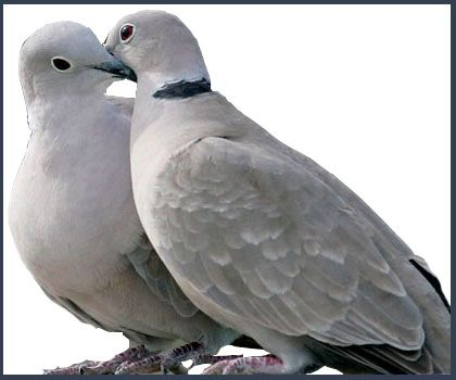 White turtle dove google search birds pinterest turtle white turtle dove google search pronofoot35fo Image collections