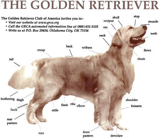 Anatomy Of A Golden Retriever Dog Training Dog Anatomy Golden