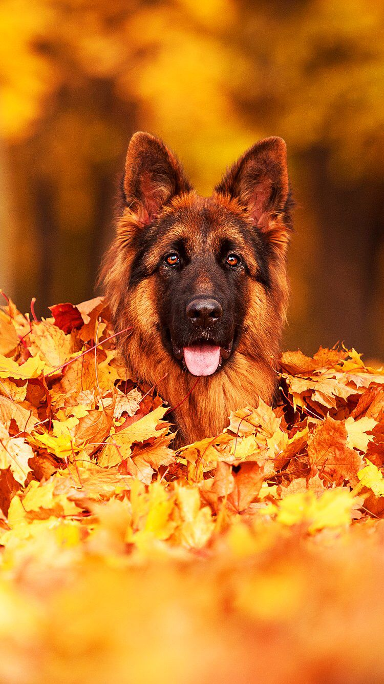 Pin By Mahmoud El Deeb On Dogs German Shepherd Dogs