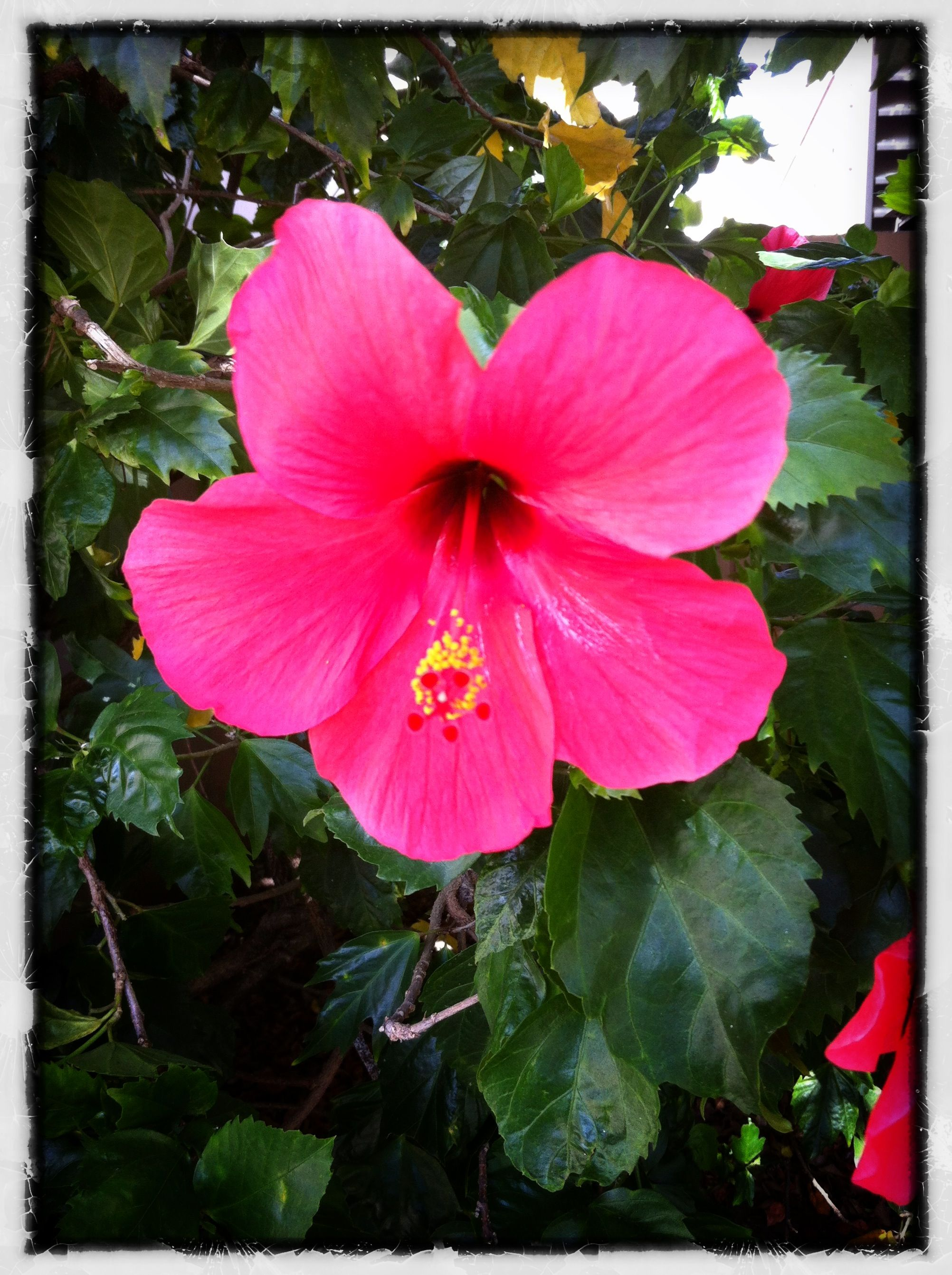 Amapola Name Used In Puerto Rico To Refer To The Hibiscus Flower