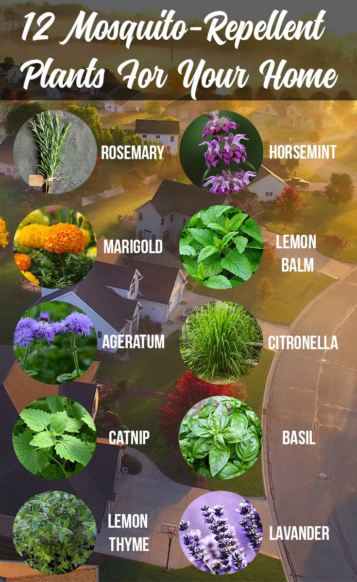 Discover The 12 Mosquito Repellent Plants For Your Home Mosquito Repelling Plants Mosquito Plants Plants