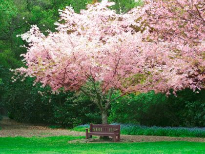 Cherry Blossom Festival At Descanso Gardens March 23 24 Los Angeles Pinterest Gardens