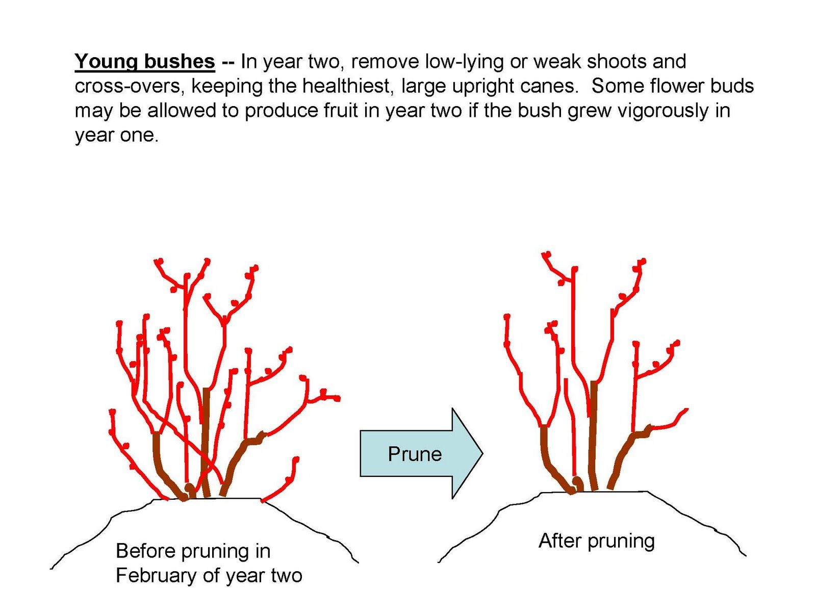 Pruning Young Blueberry Plants Blueberry Plant Blueberry Gardening Food Garden