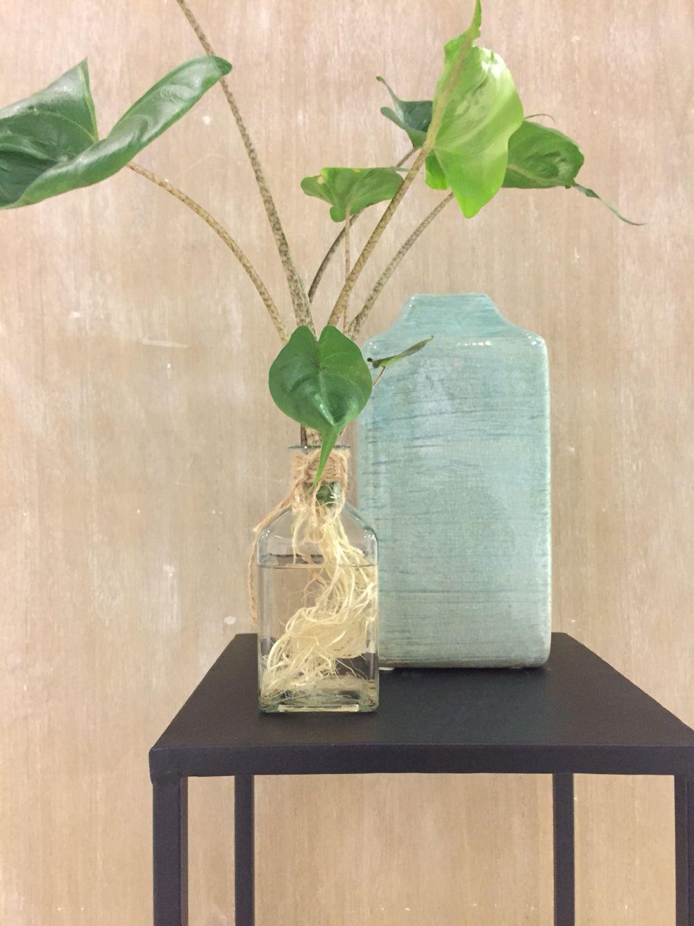 Nieuw! Deze alocasia stingray is zo gekweekt dat het geen grond nodig heeft maar gewoon met zijn wortels in het water staat. Super leuk, nu is het prachtige wortel gestel zichtbaar. Nu in verkrijgbaar in de winkel!