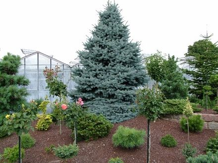 Image Result For Picea Pungens F Glauca Baby Blue Eyes Spruce Baby Blue Colorado Spruce Conifers Garden Picea Pungens Colorado Spruce