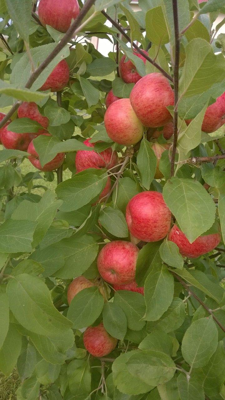 omenoita syksyllä -14