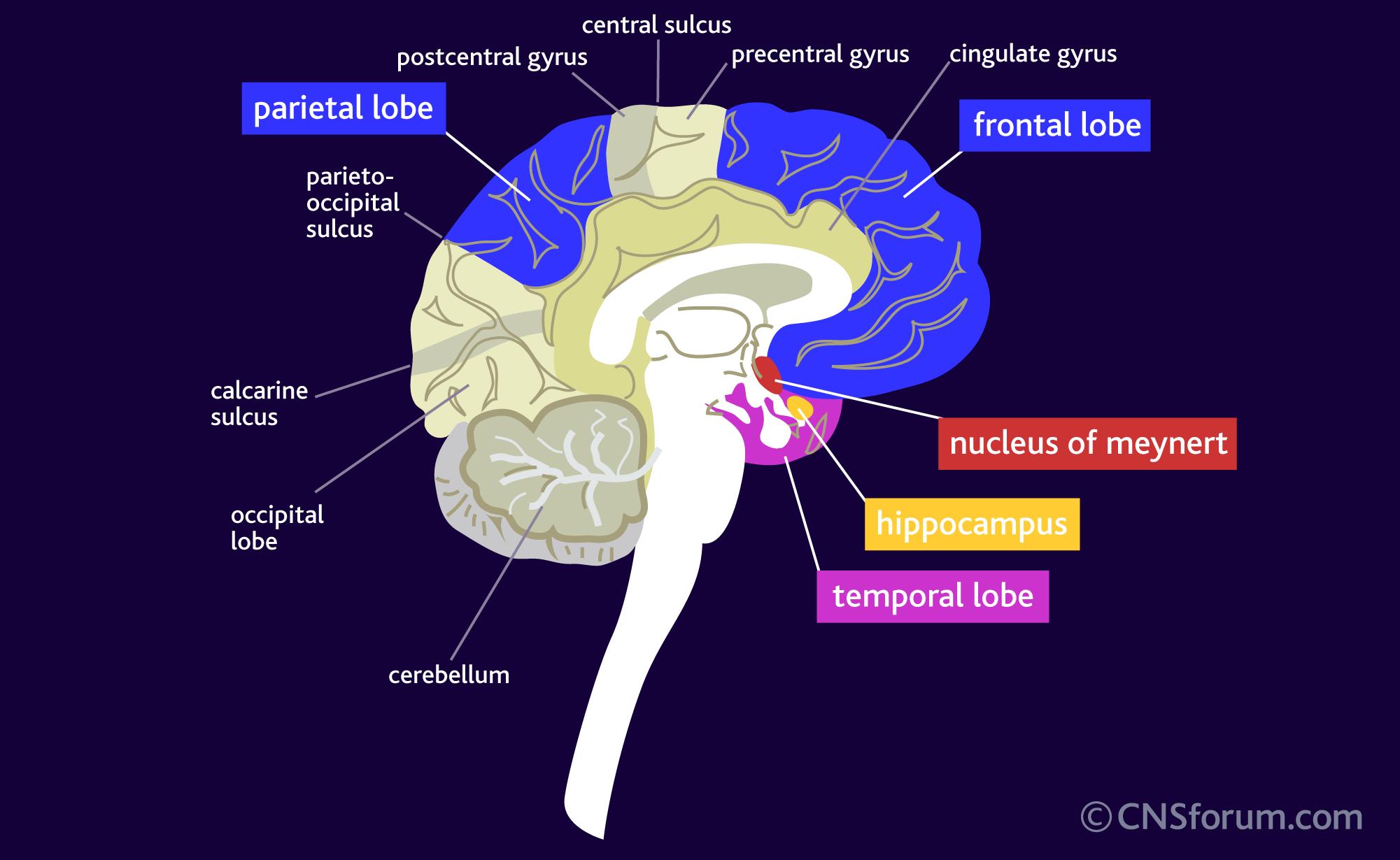 atrofie hersenen betekenis