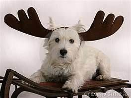 3 Month Old Albino Moose Found On Craigslist D Westie Terrier