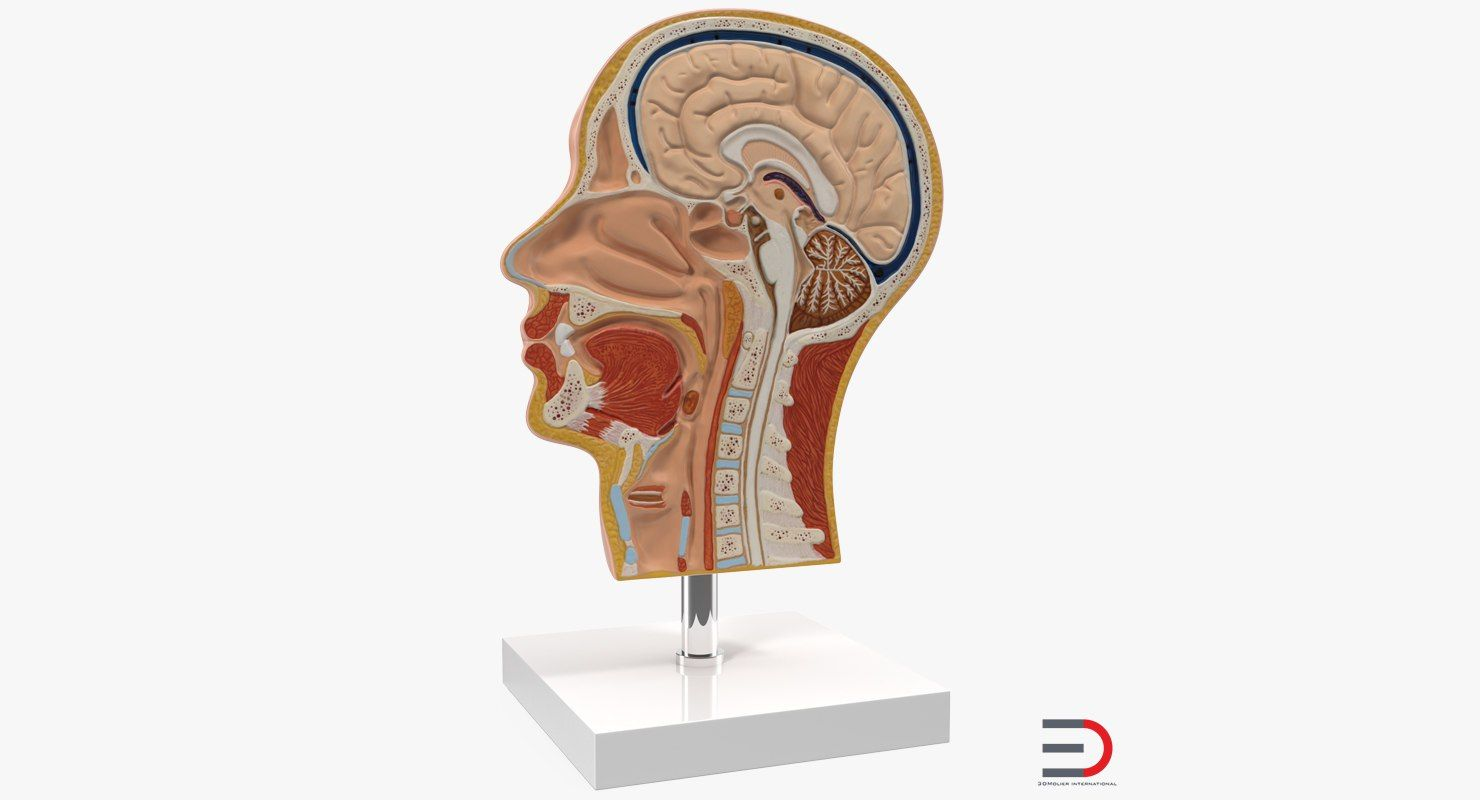 3D Section Of Human Head Anatomy Model | 3d models of Medical ...