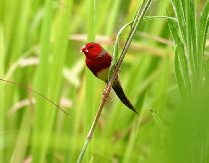 Ciri Khas Burung Pipit Matari Dan Cara Perawatannya Burung Cantik Burung Jalak