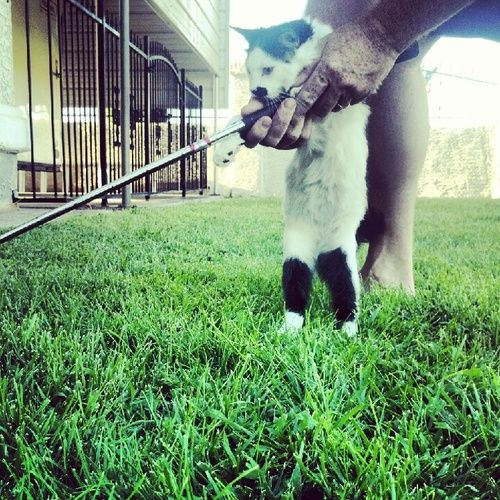 Cat Golfing - I love this!  http://juliegallaher.com/post/30777952238/cat-golfing