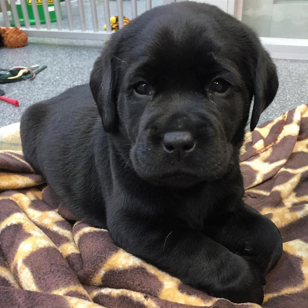 18 Mil Curtidas 308 Comentarios Labrador Golden Retriever
