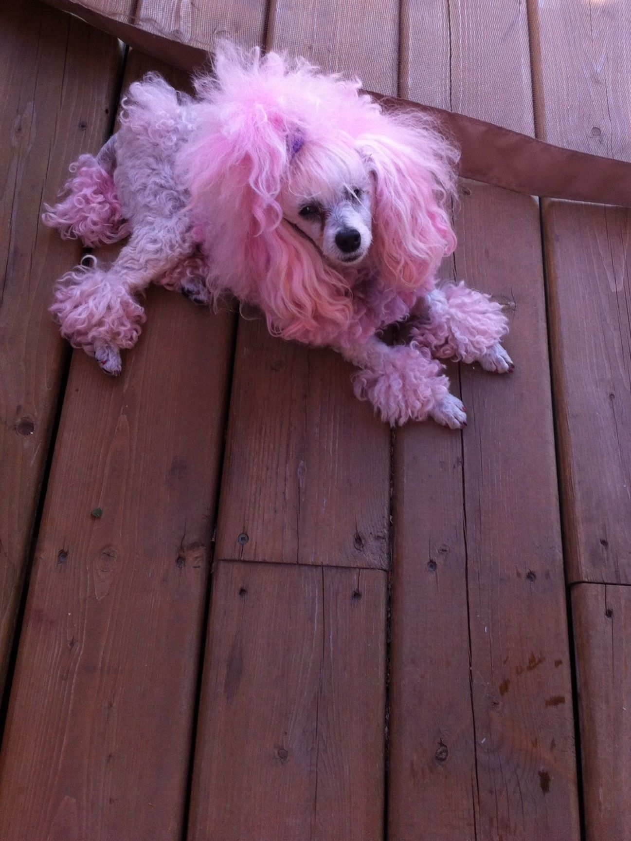 Time For Another Fun Pink Saturday Pink Poodle Poodle Dog Poodle