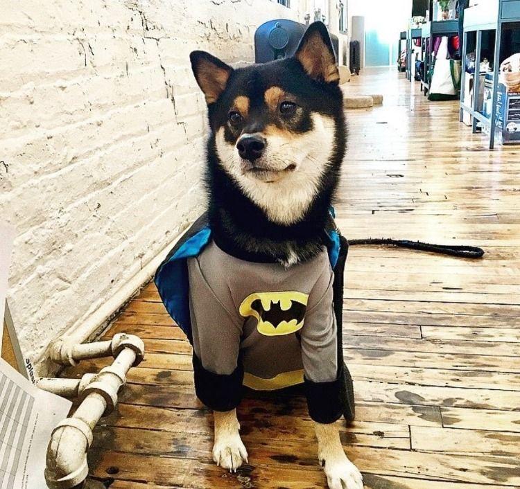 Diy Petcostumes Brucewayne Batman Shiba Pet Costumes Animals Shiba