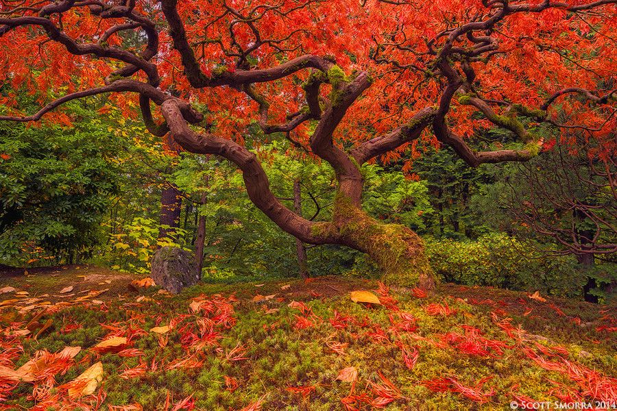 Japanese Maple by Scott  Smorra on 500px