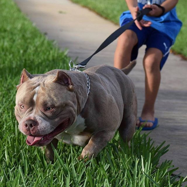About American Bully American Bully Kennels Dogs