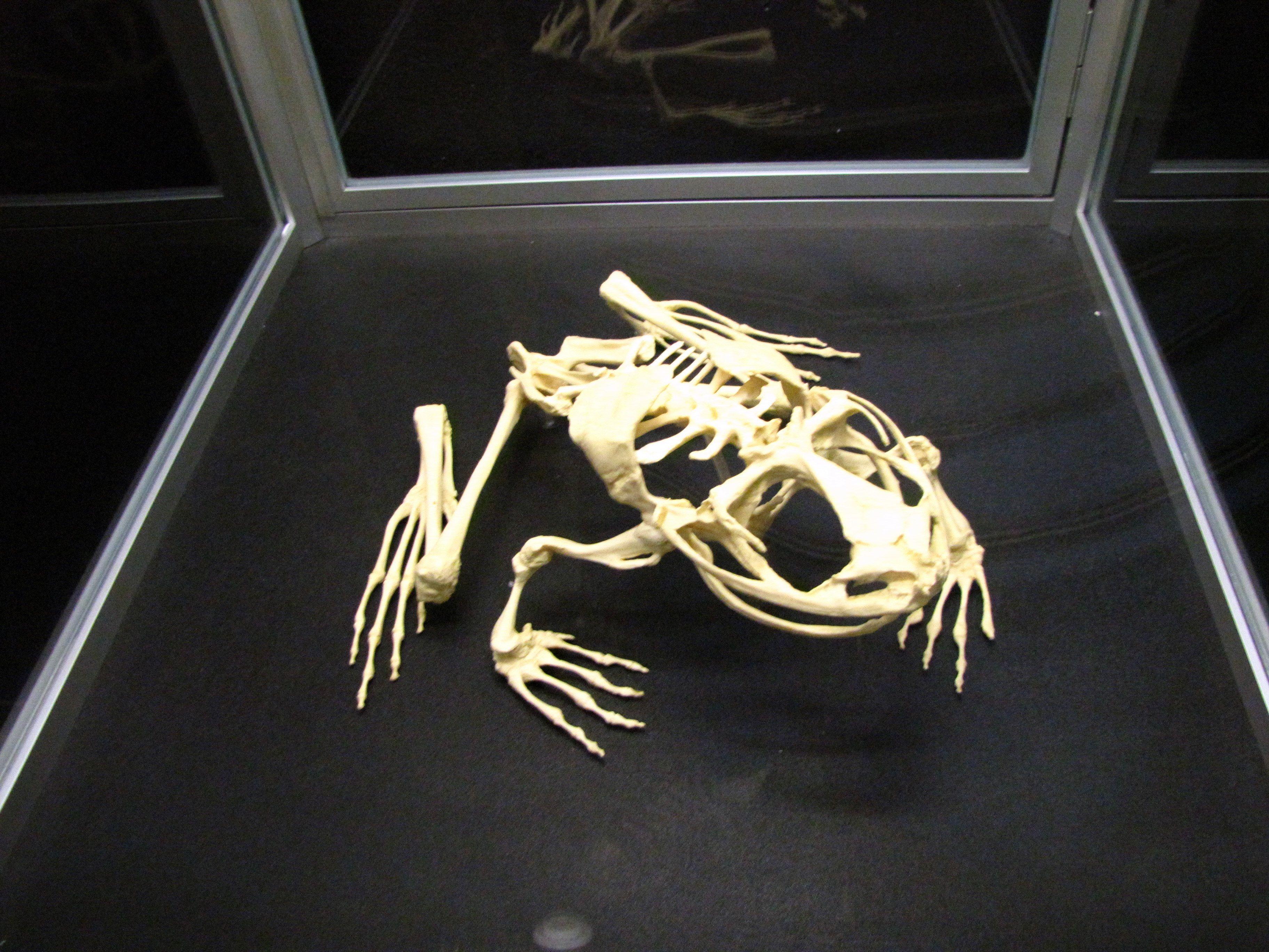 скелет хомяка картинки