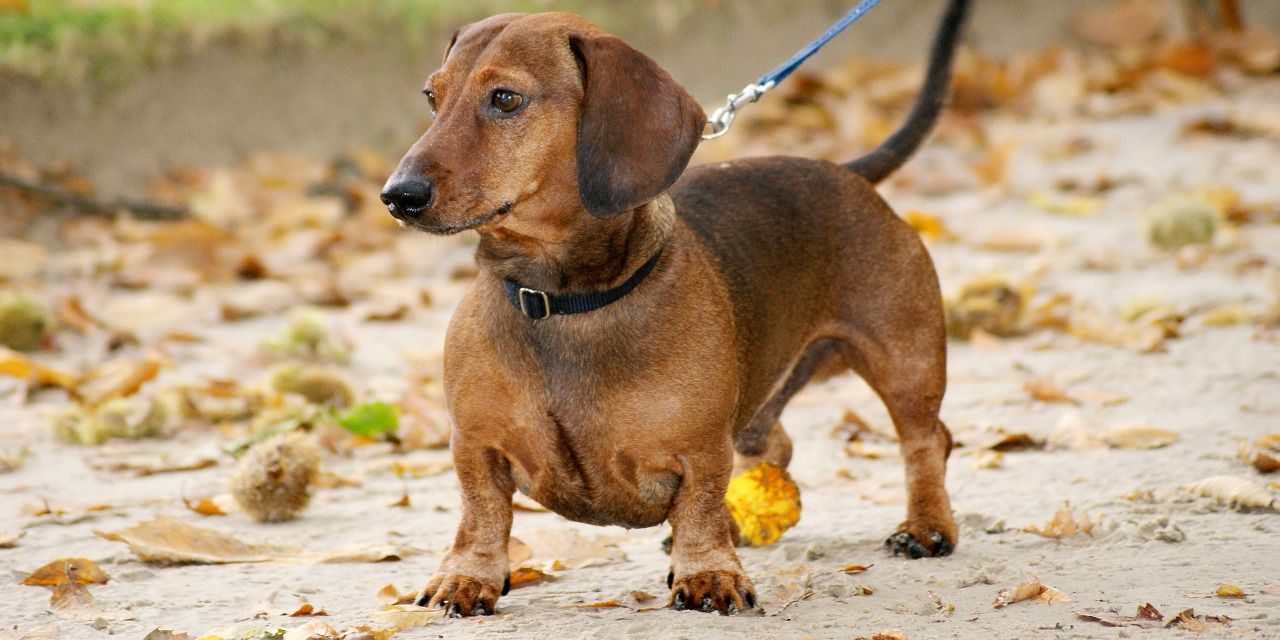 20 Cool Facts To Learn About Dachshunds Dog Breeds Dogs Dachshund