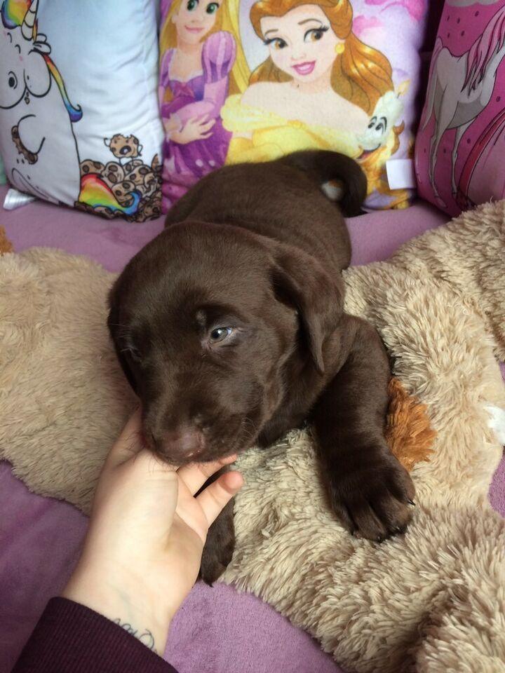 Ich verkaufe ein kleinen Süßen braunen Labrador ️ in