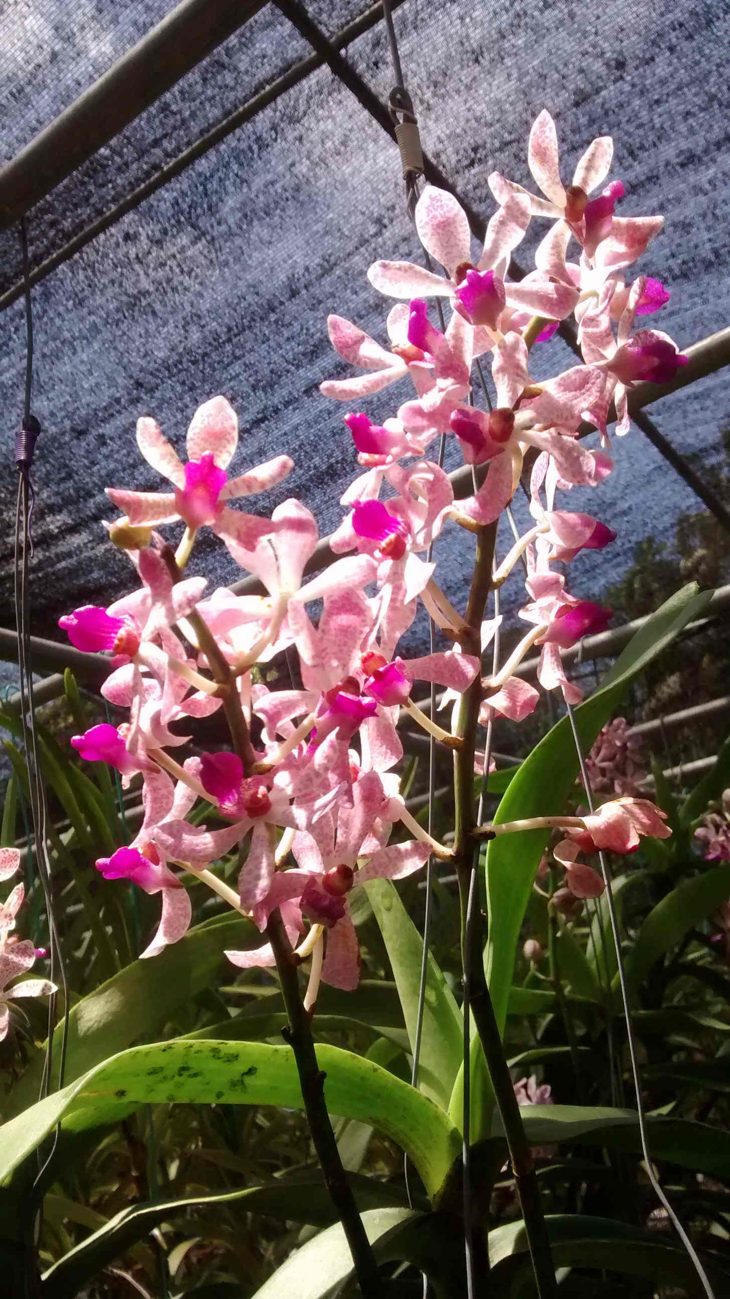 Arachnostylis Jittima Orchids Orchids Growing Orchids Orchid Flower