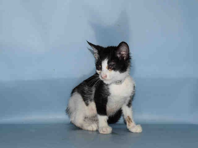 A1082767 – BLOOM – A1082767  FEMALE, BLACK / WHITE, DOMESTIC SH MIX,8 weeks OWNER SUR – EVALUATE, NO HOLD Reason HOARDING Intake condition UNSPECIFIE Intake Date 07/26/2016, From NY 10467, DueOut Date 07/26/2016, I came in with Group/Litter #K16-067140. Medical Behavior Evaluation BLUE