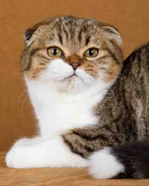 Originating from a white barn cat discovered in Scotland in 1961, this breed is unique for its ears that fold forward and downward on its head, resulting in an endearing pixie look. These hardy cats have tiny voices, adore human companionship, and adapt to almost any home situation. Photo (c) Chanan Photography/Richard Katris