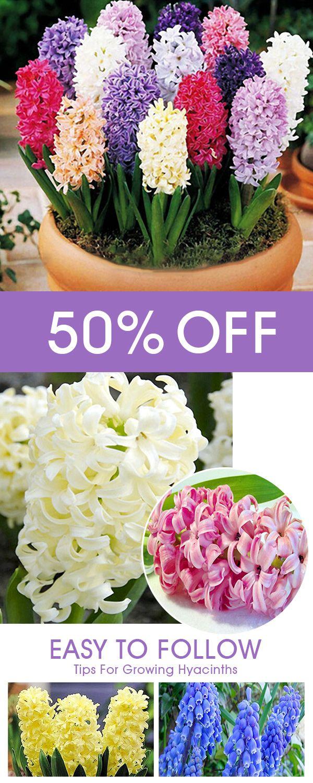 Rare Hyacinth 100PCS Colors Flower High Survival Rate Home Garden ...