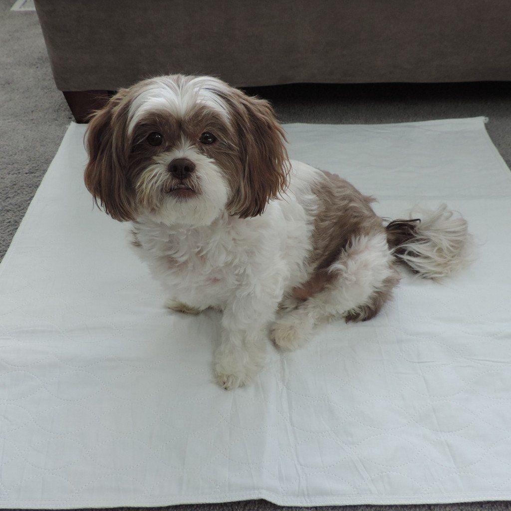 34x42 Regular Washable Pet Pads Linda Dogs, Pets, Shih tzu