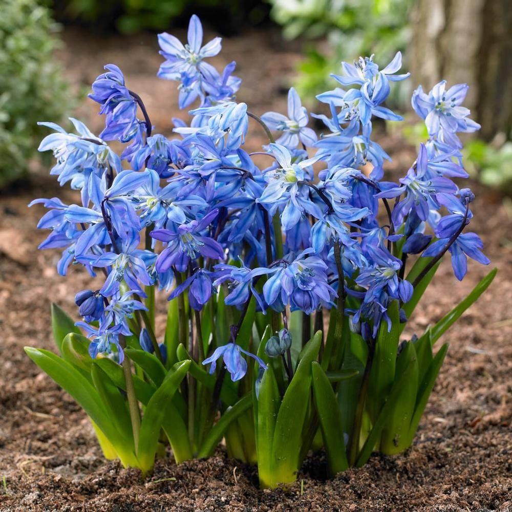 Scilla Siberica Blue. These Cute Little Cobalt Blue