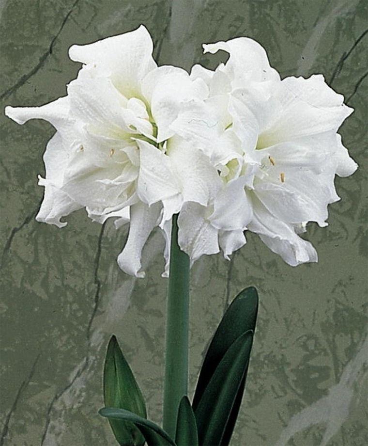 Amaryllis Snow White Christmas Flowering Double Amaryllis Amaryllis Flower Bulb Index Amaryllis Flowers Bulb Flowers Amaryllis Bulbs