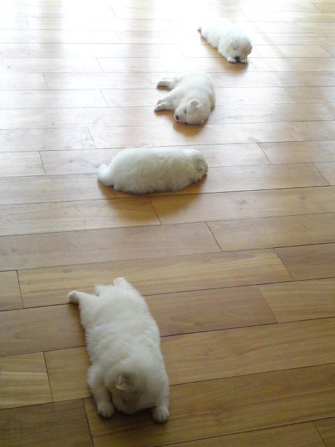 They eat, then they try to go into the living room and play, but they just can't make it... too sleepy.