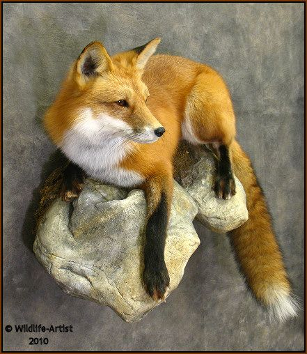 Lets see some fox mounts predatormasters forums for Ebensburg hunting and fishing