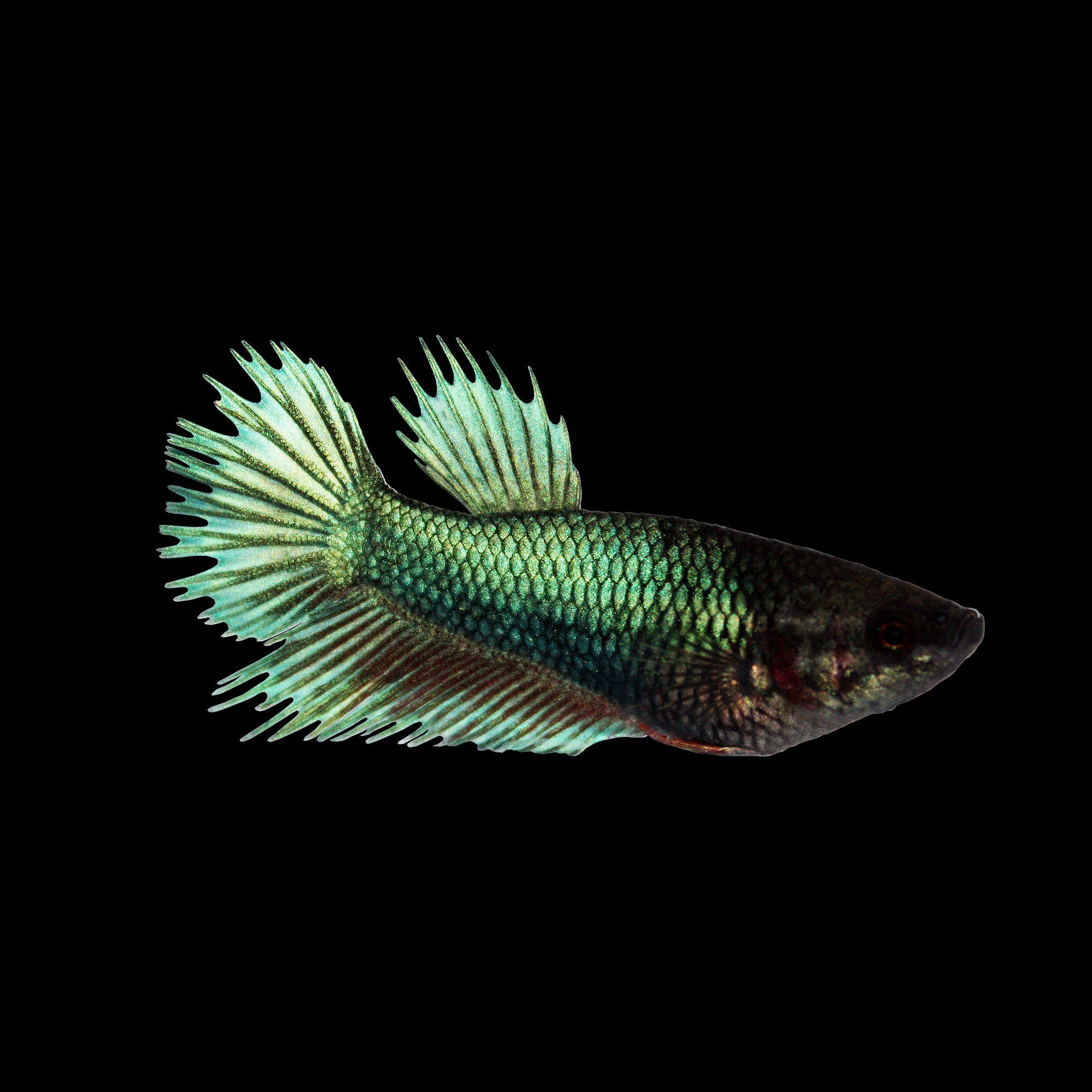 Top 35+ Beautiful Types of Betta Fish with Amazing Pictures | Betta ...