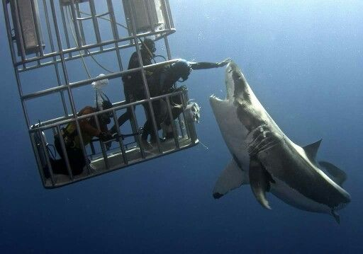 This diver is actually reaching out to touch this great white shark!!!