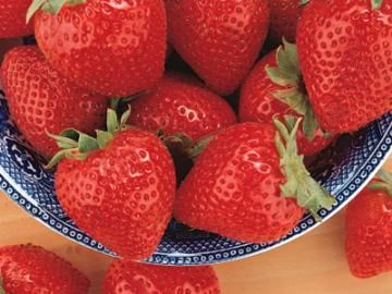Tristar Everbearing Strawberry Plants