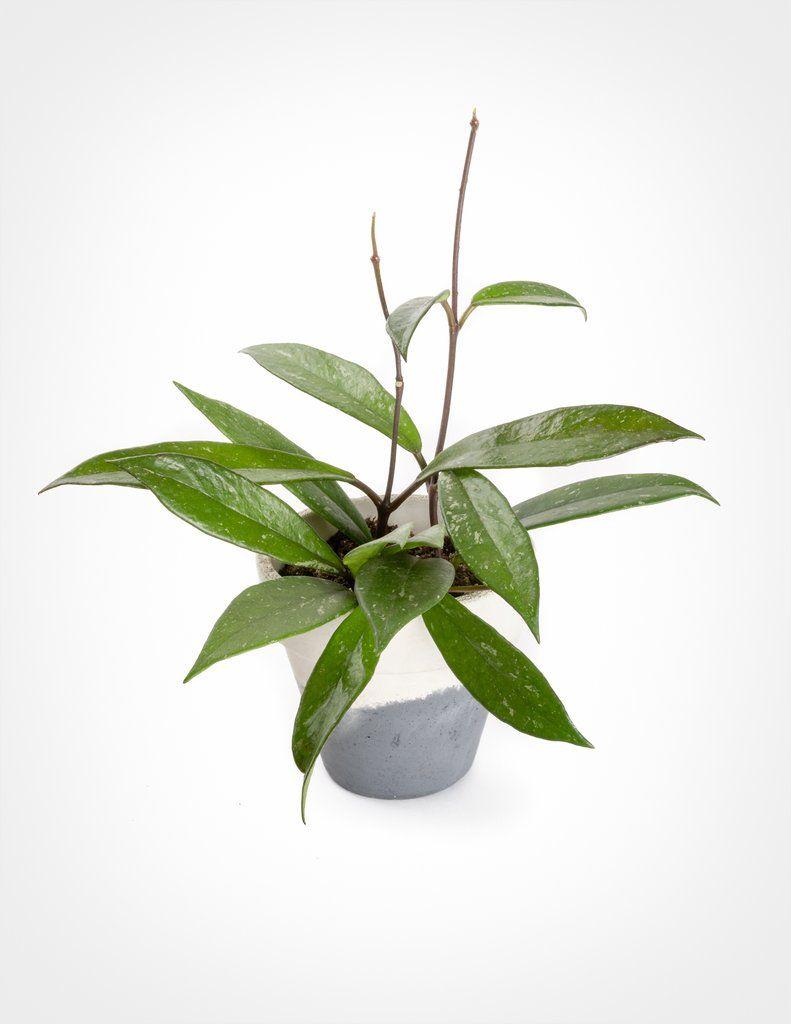 Hoya Pubicalyx Plant Wishlist Plants Cat Safe House Plants