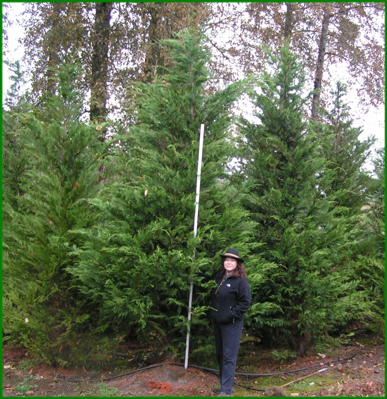 Leyland Cypress Deer Resistant Evergreens For Privacy Screens And Hedges In New Jersey