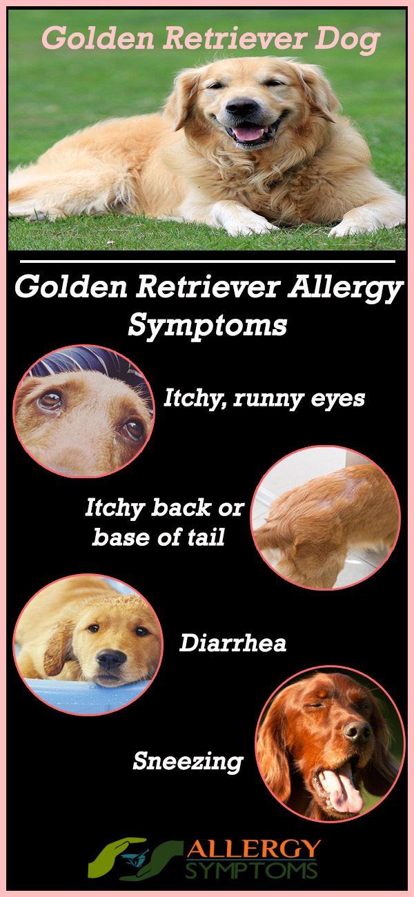 Golden Retriever Allergy Symptoms #GoldenRetriever #GoldenRetrieverAllergies http://allergy-symptoms.org/golden-retriever-allergies/