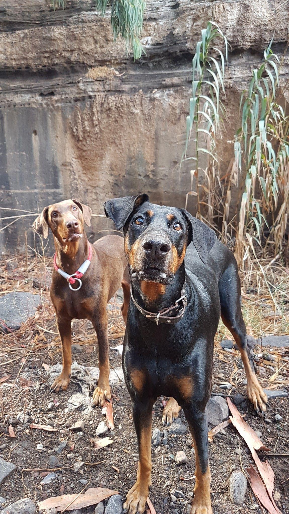 Did Someone Say Biscuits Doberman Pinscher Doberman Dogs