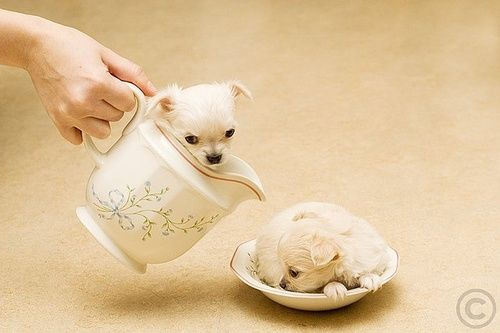 Tea Cup Puppies I M A Little Teapot Chihuahua Puppy Dog