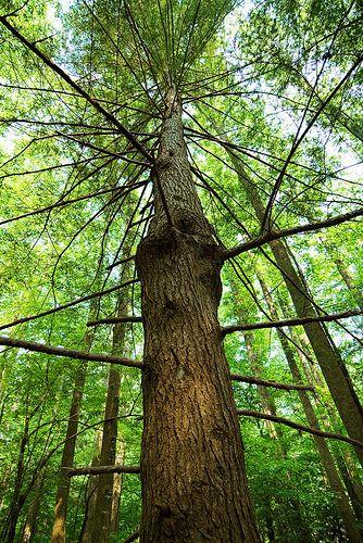 Pennsylvania S State Tree The Eastern Hemlock Tree