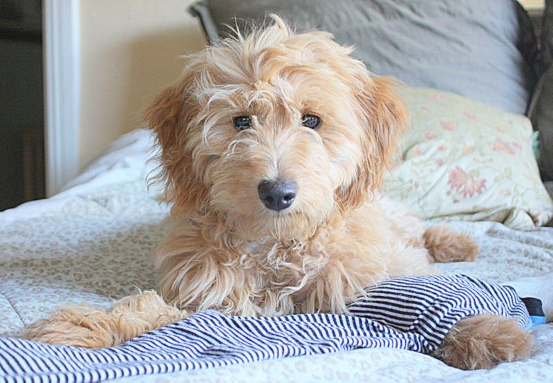 Pin By Lori Shafer Tippett On Doodles Goldendoodle Goldendoodle Puppy For Sale Goldendoodle Puppy