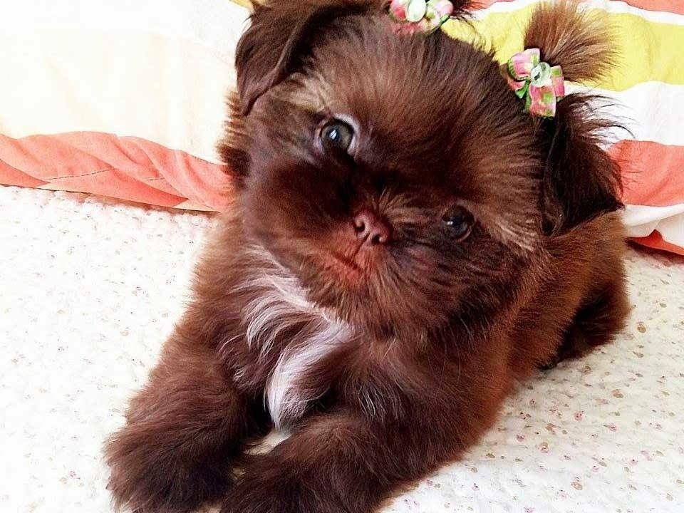 Such A Pretty Little Shih Tzu More Cutedogs Shihtzu Cute Animals Shih Tzu Puppy Shitzu Puppies