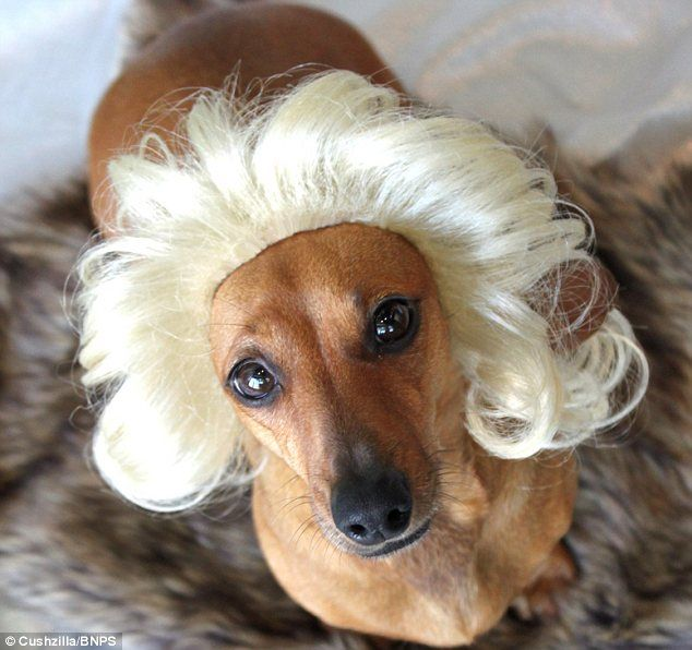 Are These Fur Real The Wigs And Costumes For Pets That Are The Cat S Meow Among Owners Dachshund Love Pets Weenie Dogs