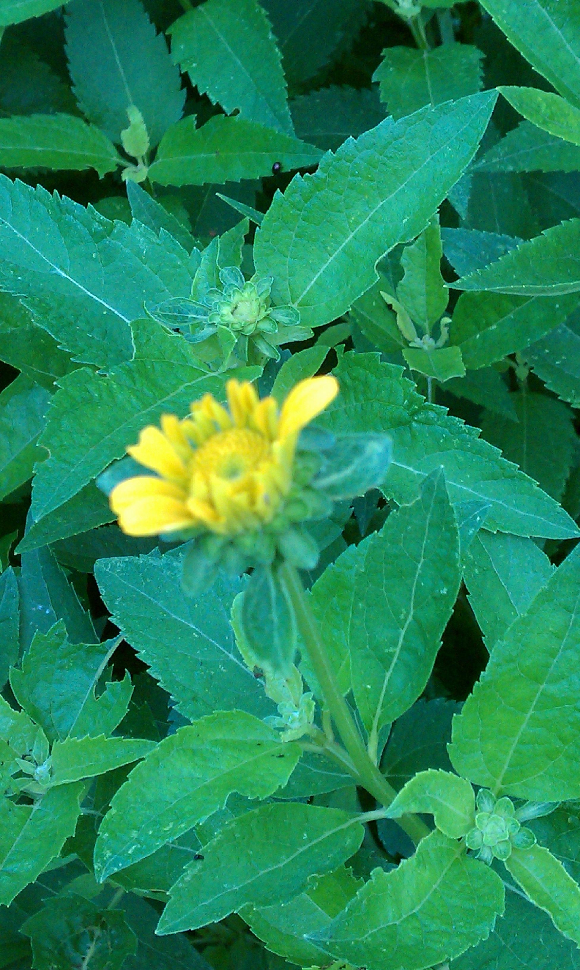 July 12: Heliopsis helianthoides var. scabra 'Summer Sun' (false sunflower) - first bloom